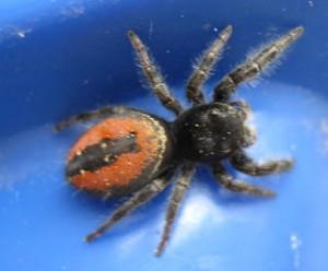 redbum spider